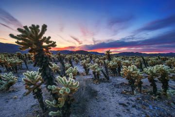 Cholla Cactus Garden in Joshua Tree National Park at sunset Fotoväggar