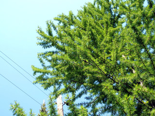 Wall Mural - larch crown on the background of the spring blue sky