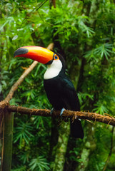 Toucan in rain forest with tree and foliage, early in the morning after rain. Iguazu bird Park. Brazil