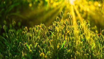 Wild grass in warm light of setting sun
