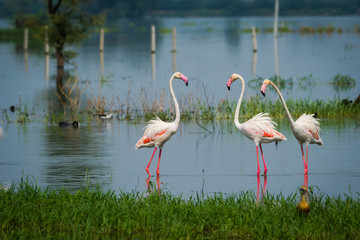 Greater flamingo flock in natural habitat in a early morning hour during monsoon season. A beautiful nature paining created by these flamingos with reflection in water at keoladeo national park, bhara