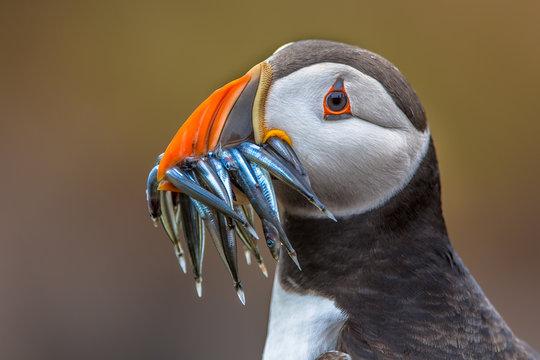 Puffin with beak full of fish