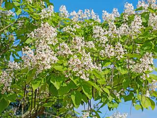 Blühender Trompetenbaum, Bohnenbaum, Katalpa
