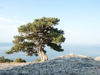 Foto op Aluminium Olijfboom Old juniper on the crimean hill