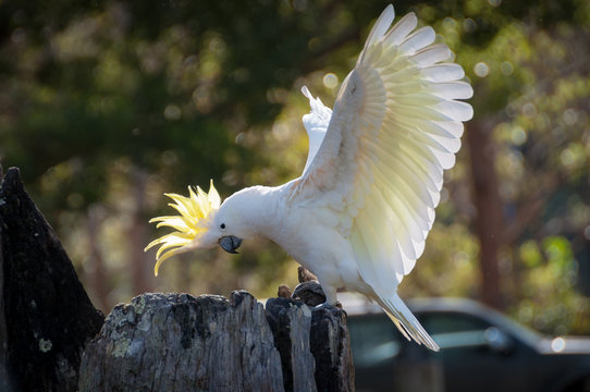 Beautiful sulphur-crested cockatoo showing off its yellow crest and wings