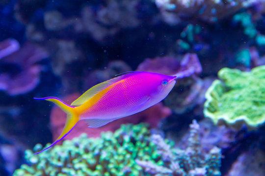 Beautiful Bartlett's anthias (Pseudanthias bartlettorum) swimming in coral reef tank