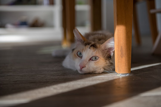 A white LaPerm cat lies under the table and looks into the camera.
