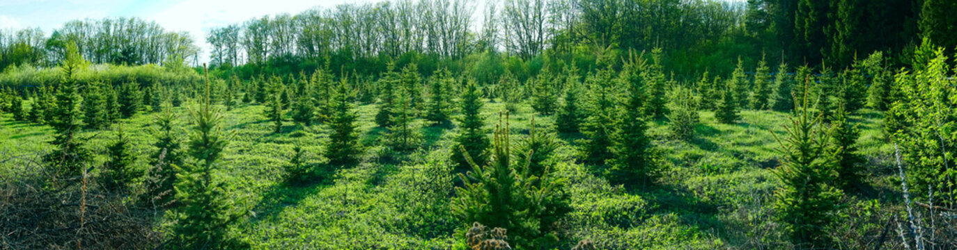 panoramic view of the young spruce forest