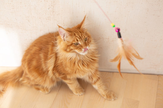 Funny red fluffy maine coon kitten playing with feather toy