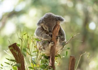 Peacefully sleeping koala on a tree trunk with eucalyptus leaves around