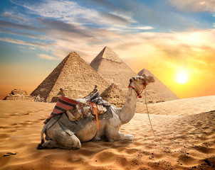 Poster Kameel Camel and desert