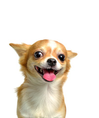 Chihuahua dog, a brown male  on a white background