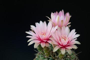 Canvas Prints Cactus cactus in a pot on blackboard background, succulent plant