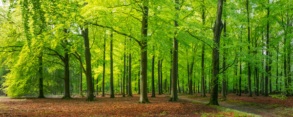 bright green springtime in a beech forest, Epe, Veluwe, Gelderland, The Netherlands