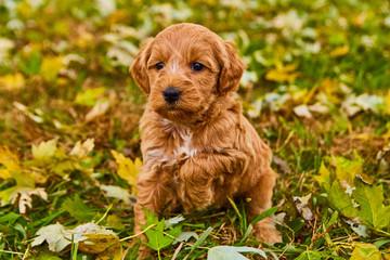 Cute Puppy Dog Animal Pet Fluffy Fototapete