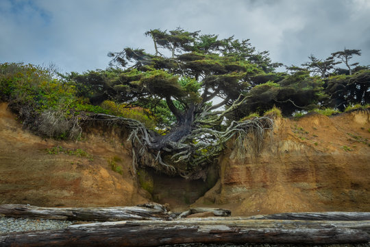 Tree Clinging to Sandy Cliff with Bare Roots