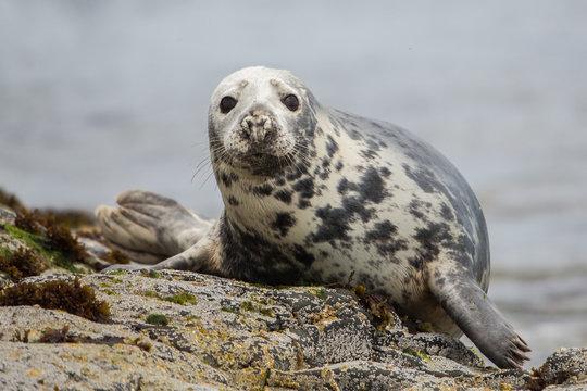 Grey seal looking at camera (Halichoerus grypus), Farne Islands, Scotland