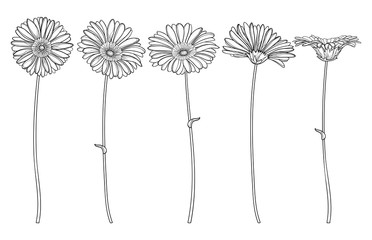 Set with outline Gerbera or Gerber flower and ornate bud in black isolated on white background.