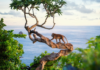 Poster de jardin Singe Monkey on the tree. Animals in the wild. Landscape during sunset. Kelingking beach, Nusa Penida, Bali, Indonesia. Travel - image