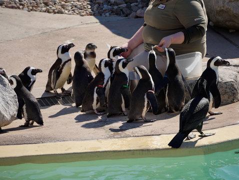 Zoo keeper feeding African Penguins poolside