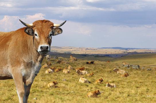 Vache Aubrac avec le troupeau en arrière plan. Auvergne, France