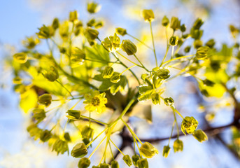 Flowers of the maple tree