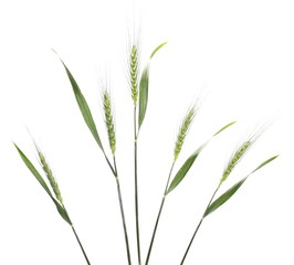 Green young wheat isolated on white background, clipping path