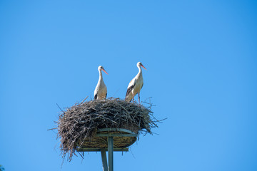 a stork couple is standing in a nest in spring