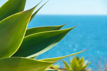 Agave plants near blue sea