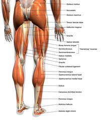 Labeled Anatomy Chart of Male Leg Muscles on White Background