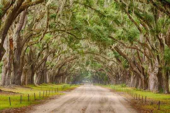 Tunnel of Live Oak Trees