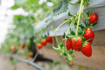 The hydroponics strawberry at greenhouse hydroponics farm with high technology farming in close system