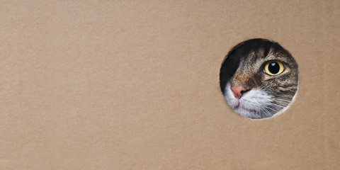 Fotorolgordijn Kat Maine coon cat looking funny out of a hole in a cardboard box. Panoramic image with copy space.