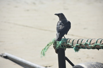 A GOA PICTURE OF A BLACK CROW