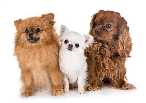 little dogs in studio in studio