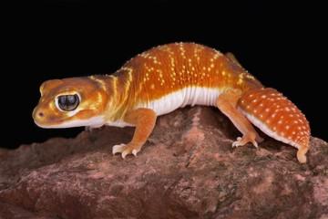 Wall Mural - Smooth knob-tailed gecko (Nephrurus levis)