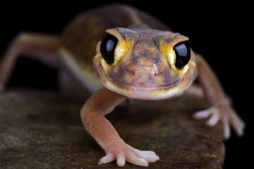 Wall Mural - Pernatty knob-tailed gecko (Nephrurus deleani)