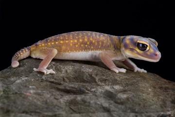 Wall Mural - Starry knob-tailed gecko (Nephrurus stellatus)