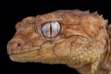 Wall Mural - Centralian rough knob-tailed gecko (Nephrurus amyae)