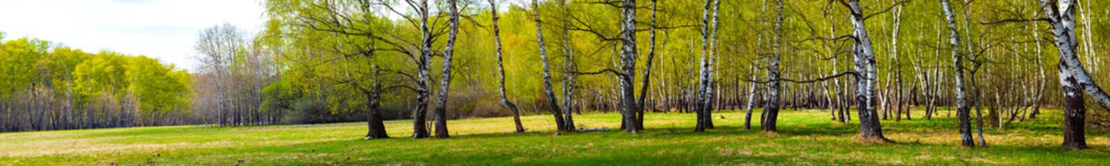 Birch grove on a sunny day.