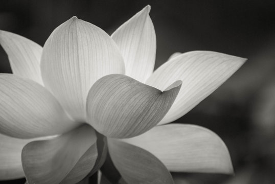 lotus flower on the pond at sunny day.Black and white colower of Lotus flower.