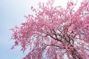 しだれ桜 春 花 高見の郷 奈良県 2019年4月