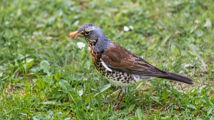Thrush eating earthworm. Fieldfare profile. Turdus pilaris in green grass. Cute bird in detail when foraging food in spring meadow. Migratory songbird with dew worms in beak. Brown-gray-white plumage.