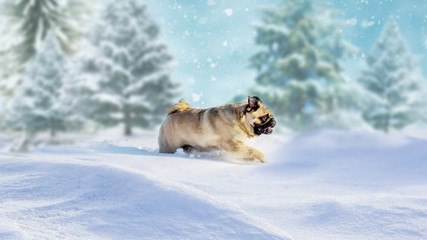 Happy dog pug is plays in the snow in winter forest landscape. Scenic image of spruces tree. Frosty day, calm wintry scene. Great picture of wild area. Explore the beauty of earth. Winter picture