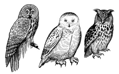 Forest birds. Realistic drawing of owls isolated on white background set.