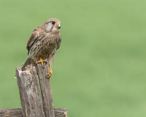 Wall Mural - Female Kestrel perched on a post with a green background.