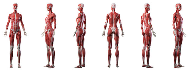 3d rendered medically accurate illustration of a womans muscle system Fototapete