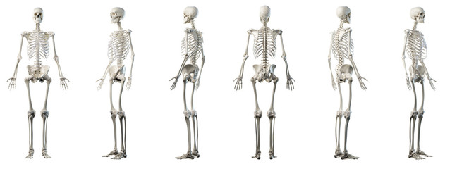 3d rendered medically accurate illustration of mans skeleton