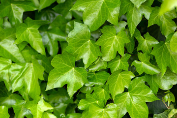 young leaves of common Ivy Hedera helix in spring. Nature concept for design.