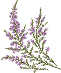 branch of Heather beautiful spring summer tenderness